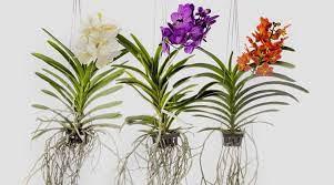 Dicas de como cuidar das orquídeas