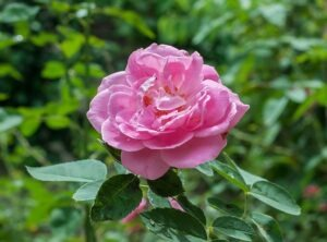Rosa da Provença