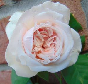 Rosa de Bourbon