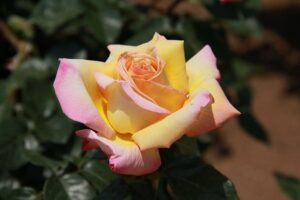 Rosa Da Paz