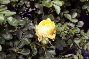 Rosa de Cobre Austríaca