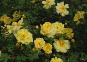 Rosa do Oregon