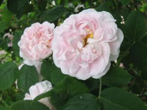 Rosa Great Maiden's Blush
